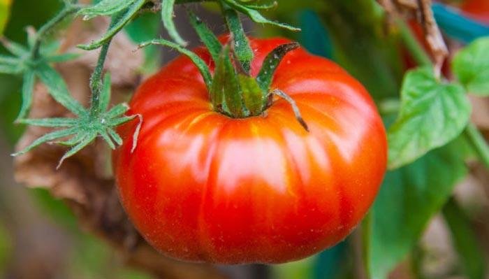 Сорт помидоров Алеша Попович