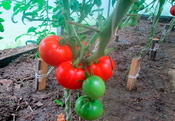помидоры алеша попович
