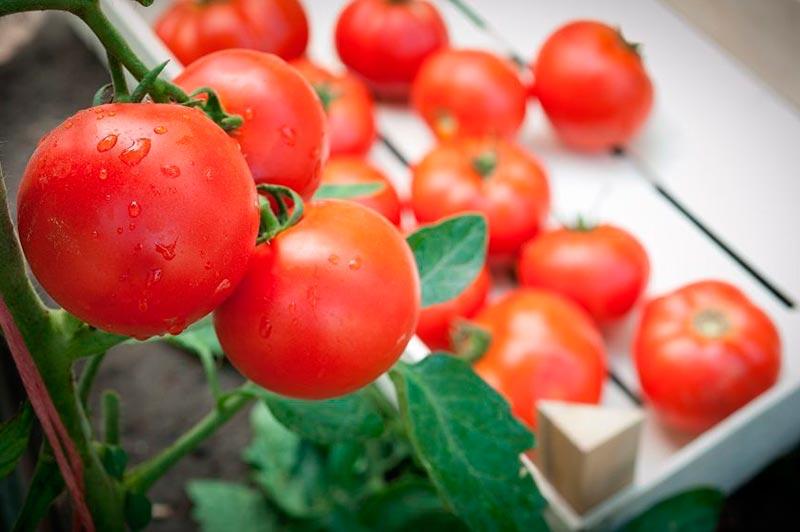 помидоры сорта гном