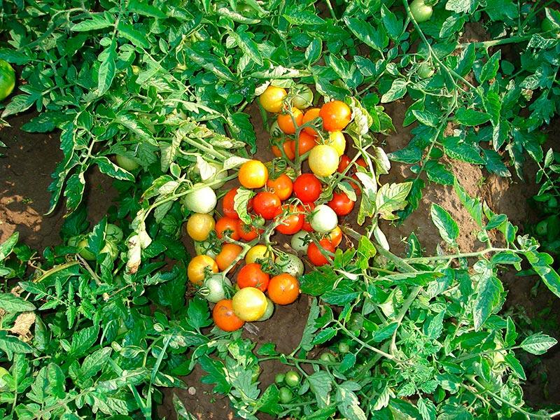 сорт помидоров гном