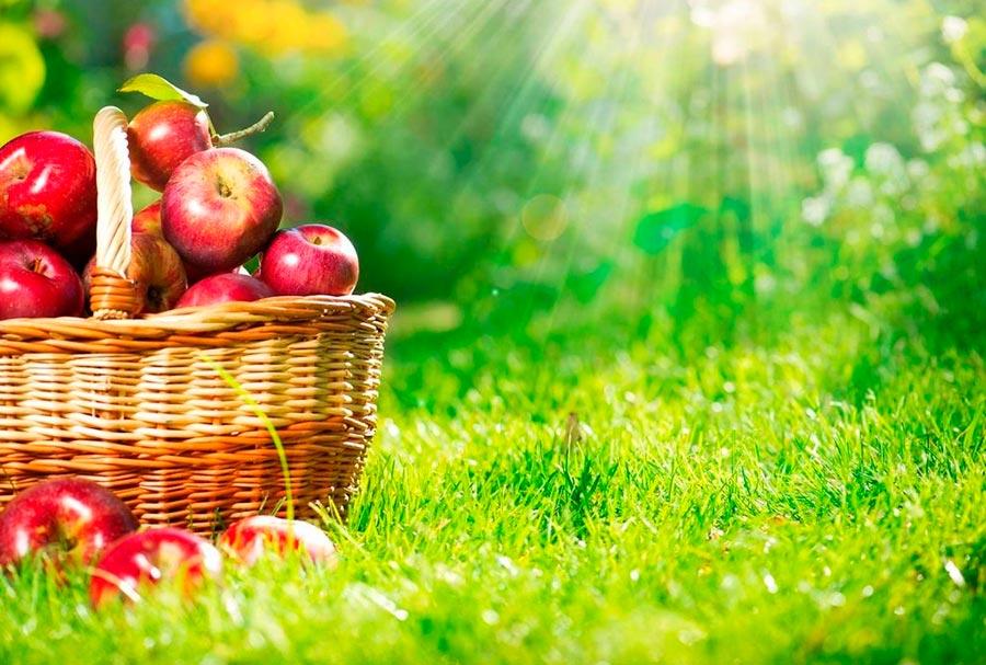 Почему не плодоносит яблоня: причины и что делать