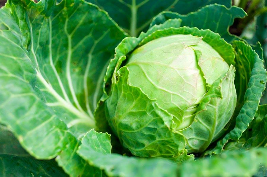 Технология выращивания ранней капусты 57