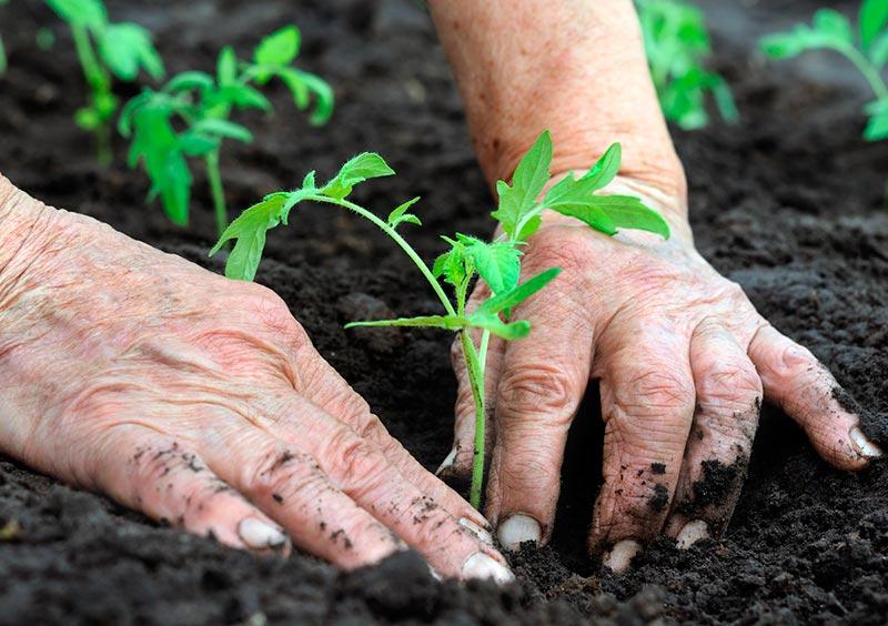 Какие удобрения необходимо класть в лунку при посадке томатов