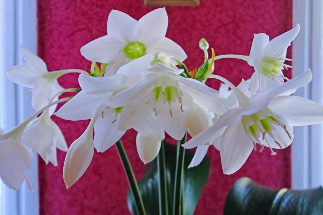 Эухарис - красивый комнатный ядовитый цветок