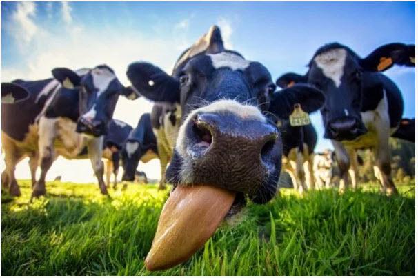 Как правильно доить корову