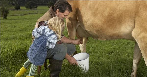доит корову
