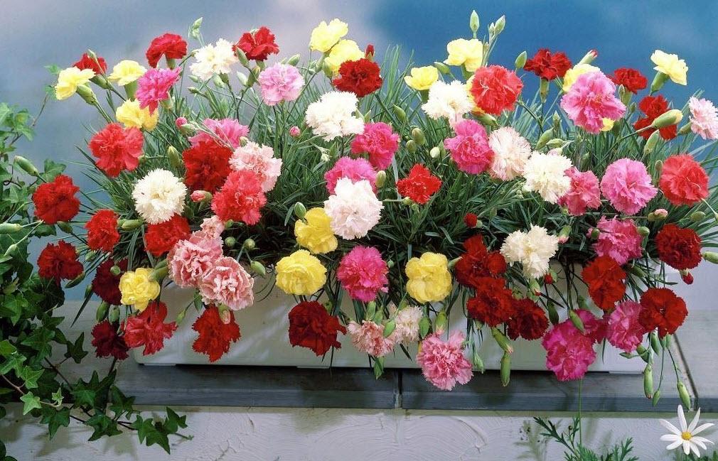 Выращивание гвоздики в разные сезоны года
