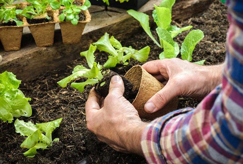 Как правильно высаживать рассаду