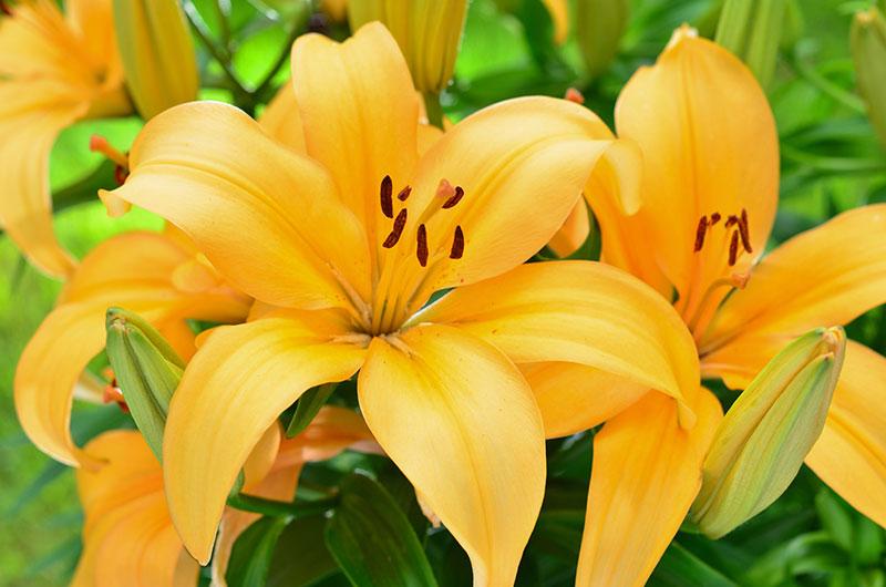 Что бы лилии цвели пышно