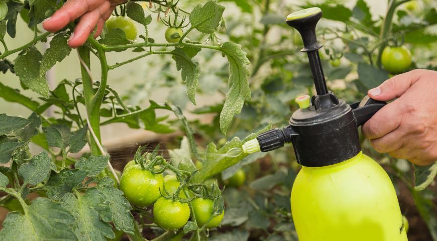 опрыскивание тепличных растений