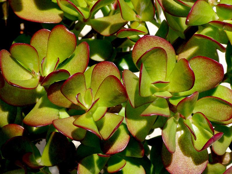 Крассула: выращивание и уход