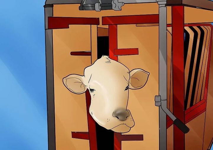 транспортировка коровы