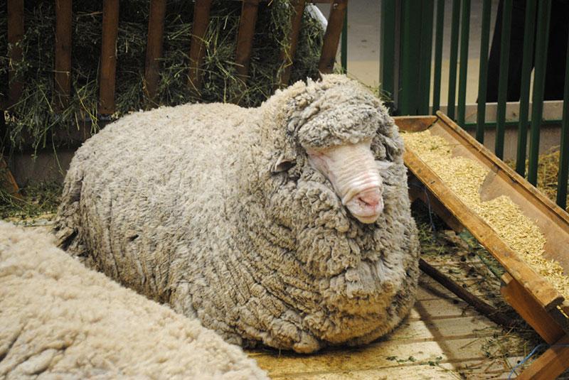 Как содержать овец и ягнят