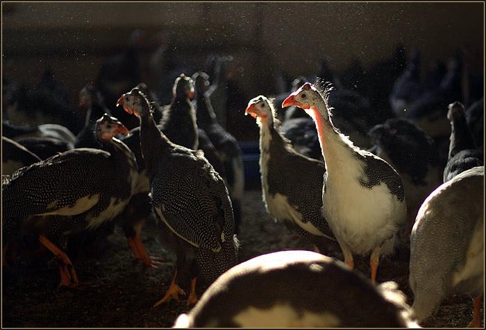 Цесарка — необыкновенная домашняя птица