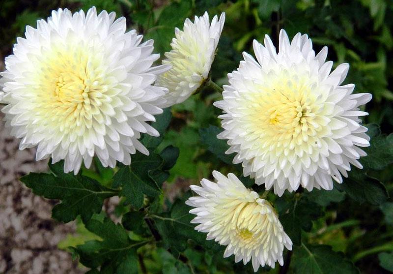 Хризантема: значение цветка, символика цвета и к чему их дарят