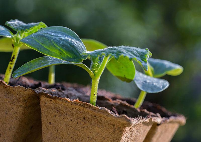 Как правильно выращивать рассаду