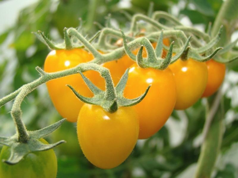 Самые урожайные желтые помидоры