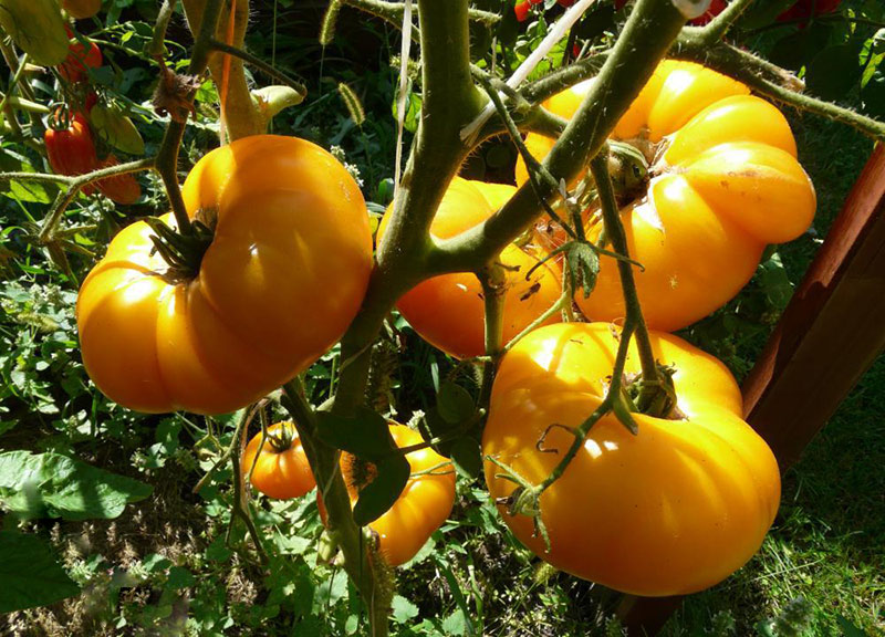 томаты Дынные