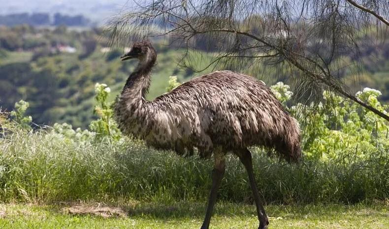 Лучшие породы страусов - Страус Нанду, Эму, Австралийский и другие породы для фермерства