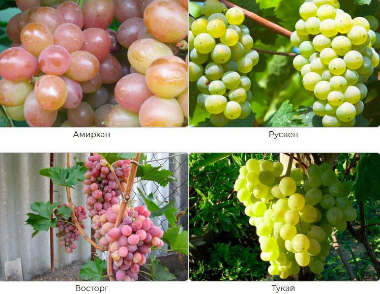 сорта винограда для сибири