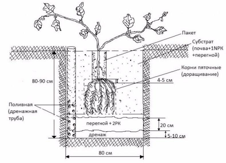 посадка и уход за виноградом в сибири