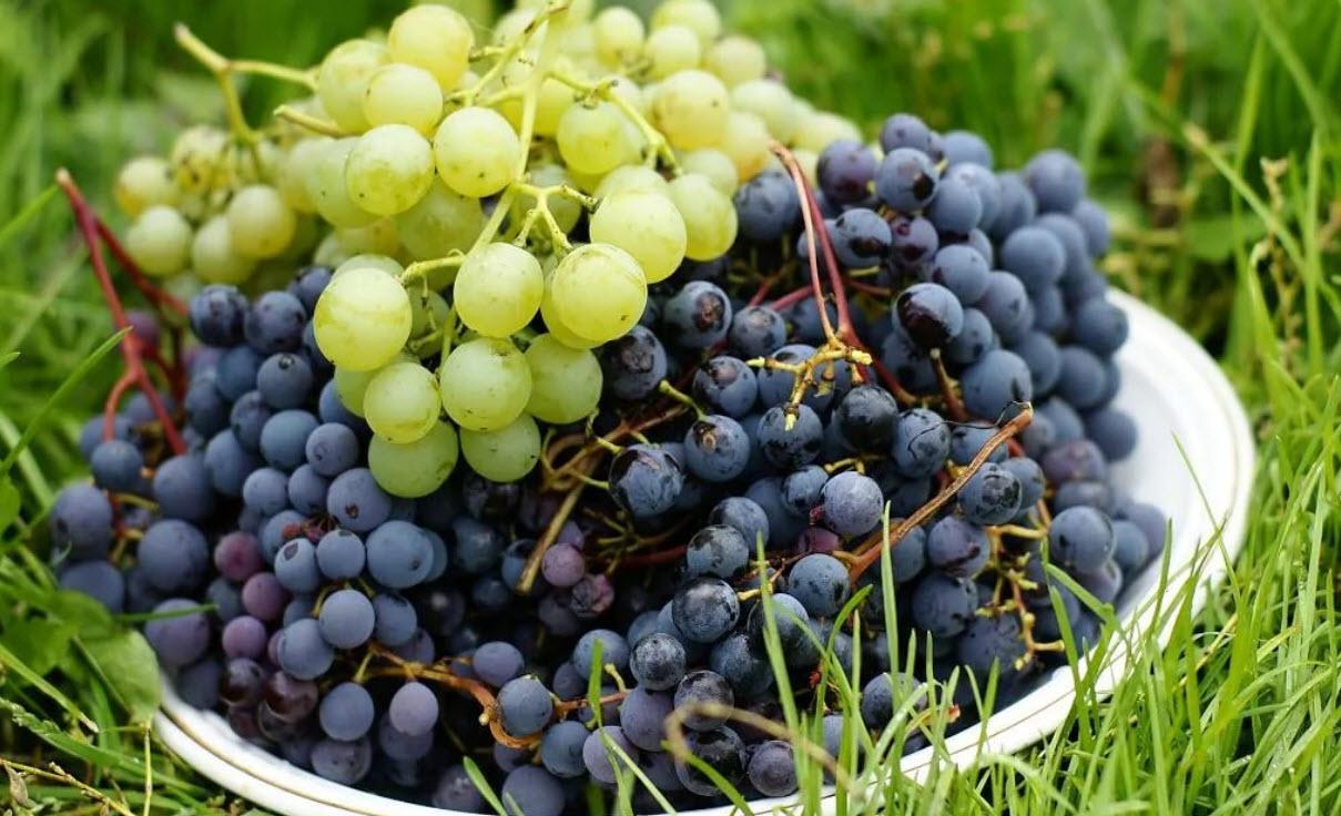 Правила посадки и ухода за виноградом в Сибири, подходящие сорта винограда