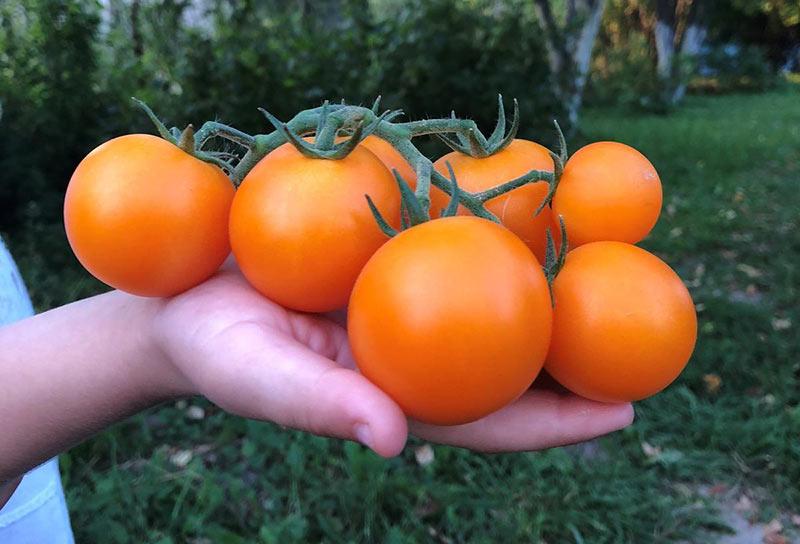 Какие сорта томатов дольше всего хранятся