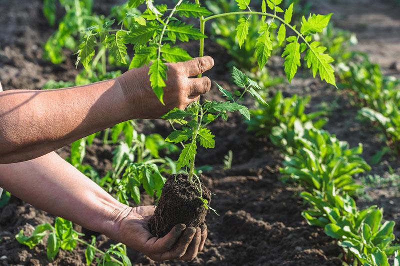 пересадка рассады томатов на постоянное место