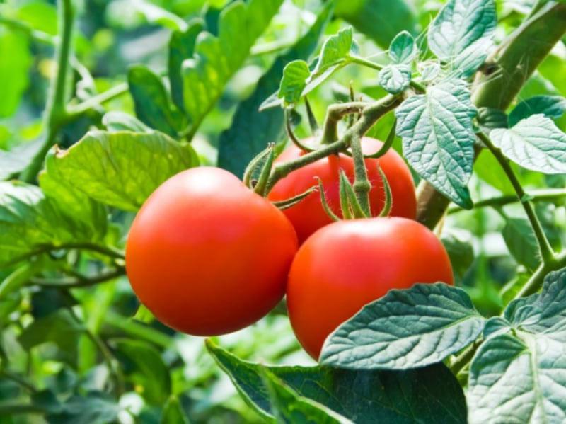 5 главных операций, которые необходимо делать на томатных кустах