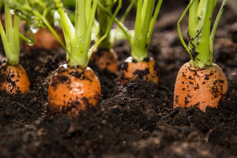 Посадка моркови весной