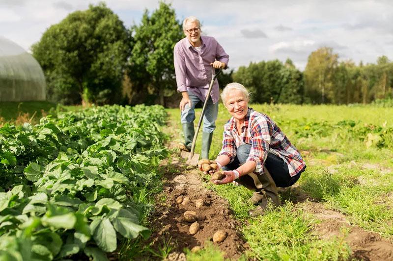 Картофель: когда и как его посадить, основы ухода за картофелем