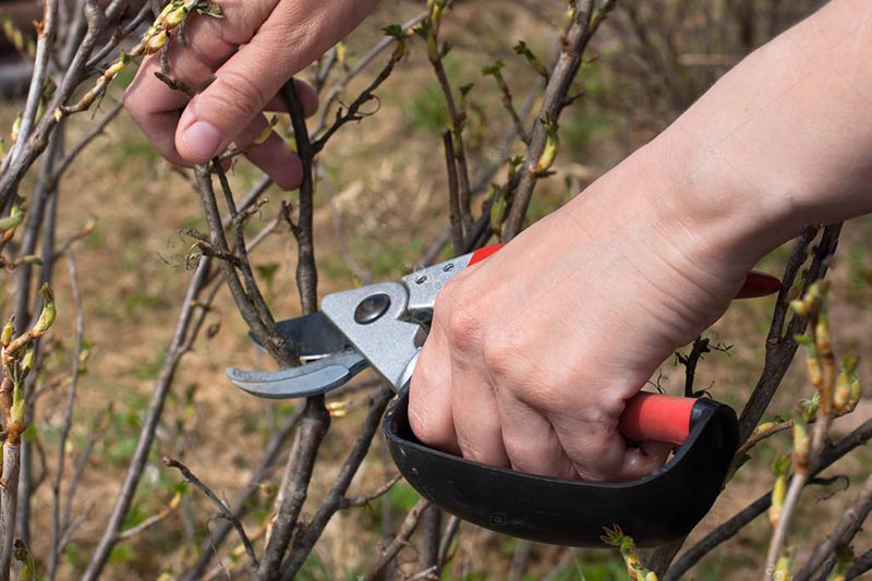 обрезка кустов черной смородины весной