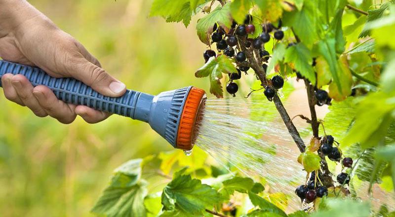 поливать смородину