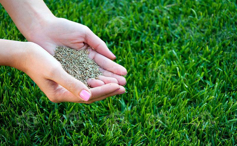 Виды газонной травы
