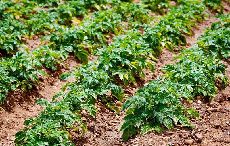 Картофель - от посадки до сбора урожая