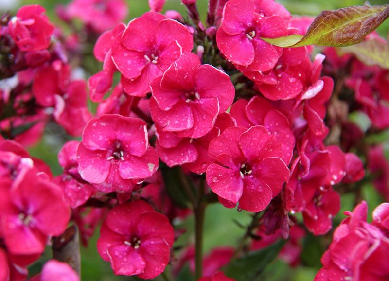 Самые любимые цветочные растения - флоксы