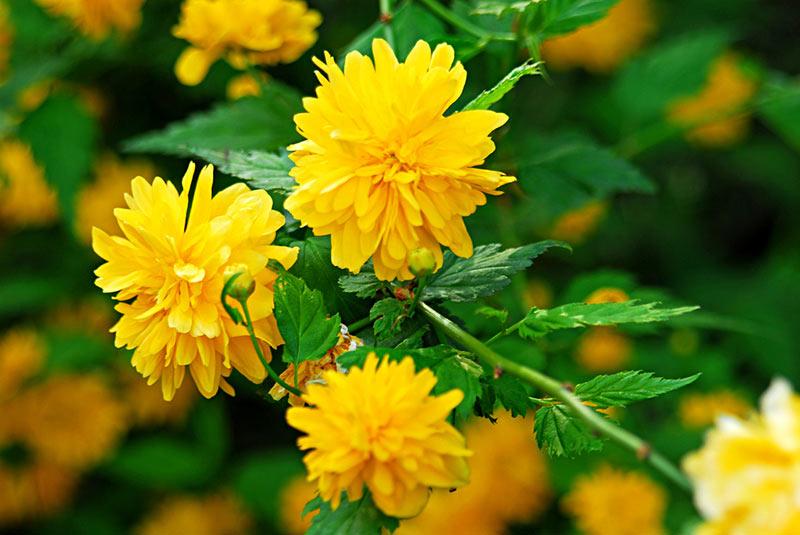 Керрия - описание растения