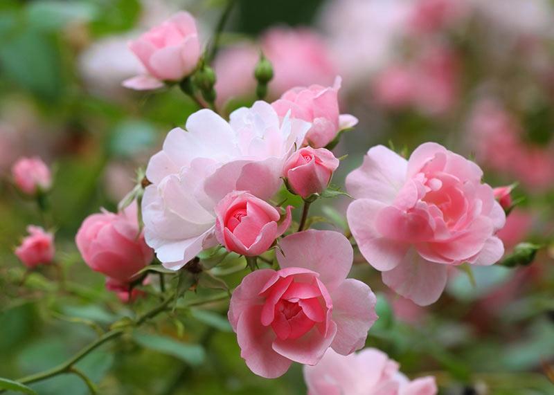 Как правильно подкармливать розы весной