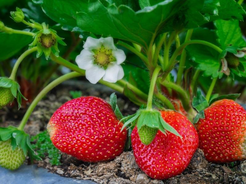 Как вырастить  вкусную и крупную клубнику