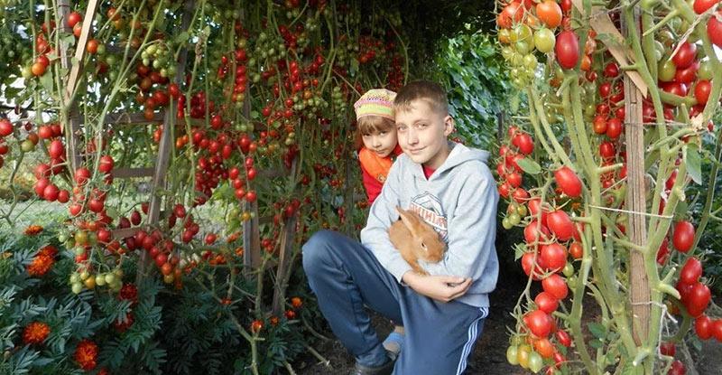 Когда и как высаживать помидоры в теплицу