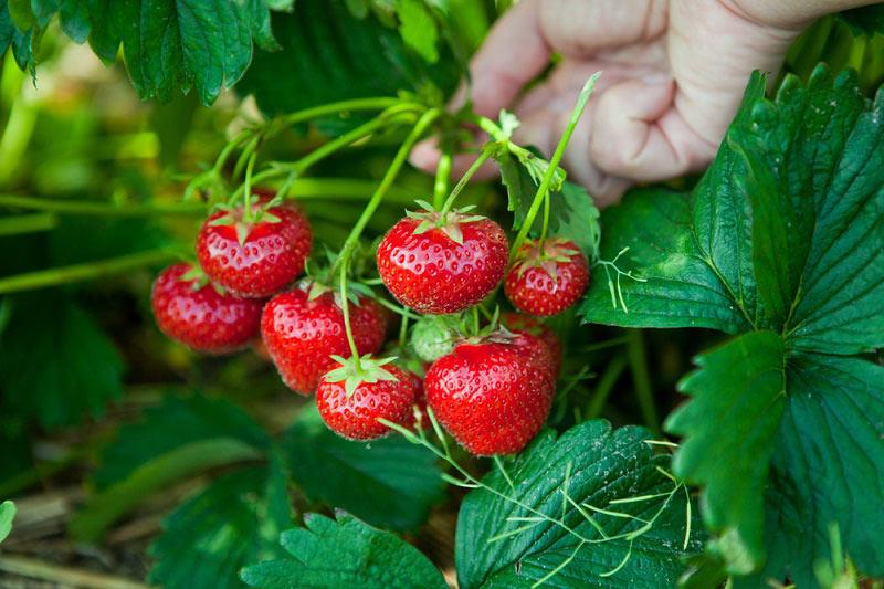 Чем подкормить клубнику весной для большого урожая
