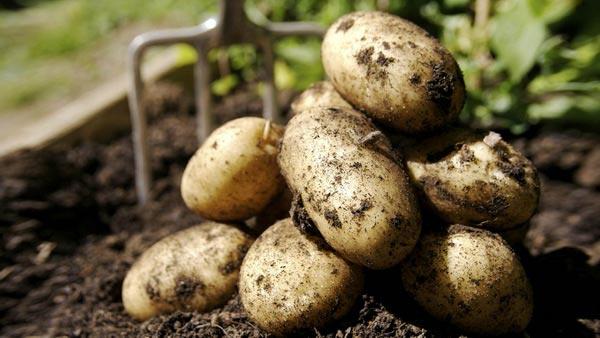 сорт картофеля наташа