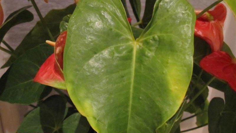 желтые листья у антуриума