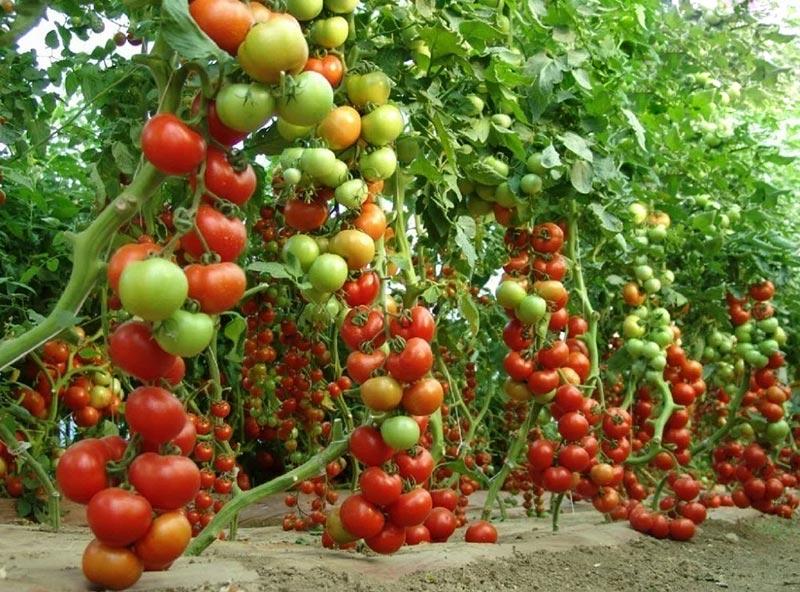 Польза древесной золы для томатов