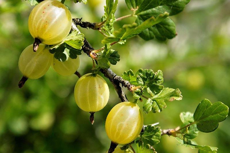 Популярные сорта крыжовника, устойчивые к мучнистой росе