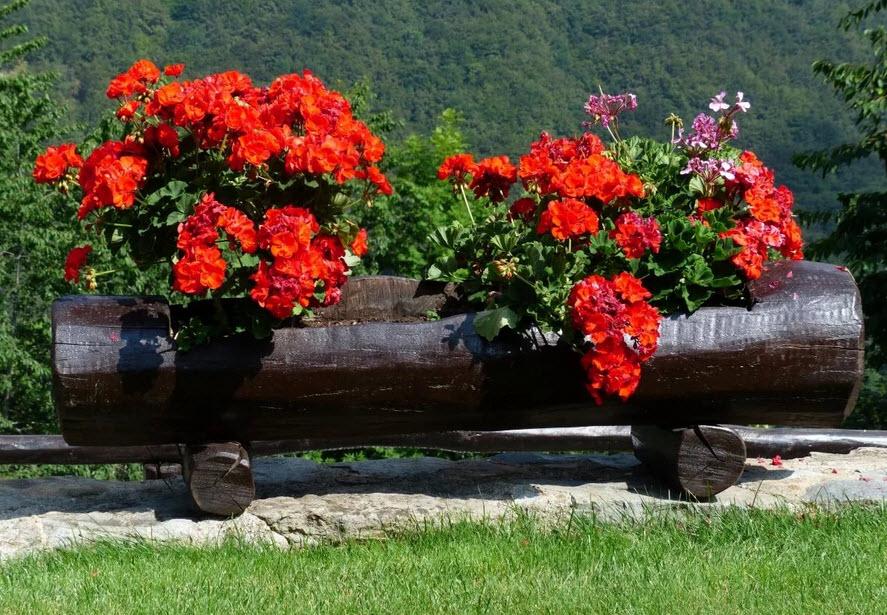 Герань на клумбе: советы по выращиванию