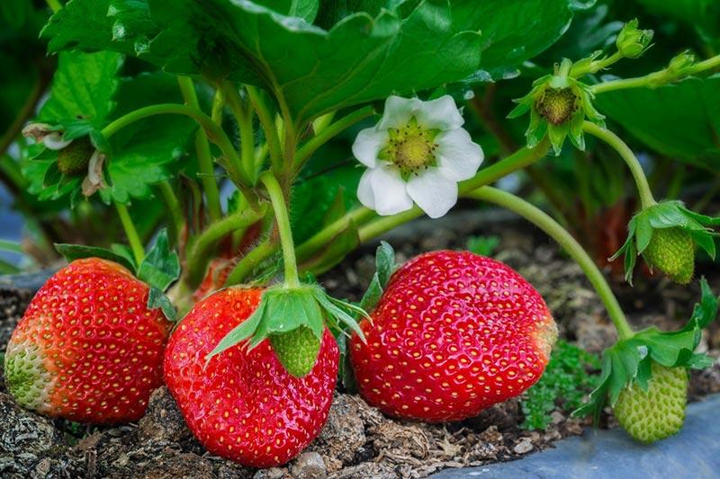 Почему клубника цветет хорошо, а ягод мало