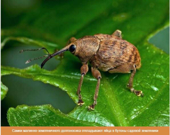 Самки малинно-земляничного долгоносика откладывают яйца в бутоны садовой земляники