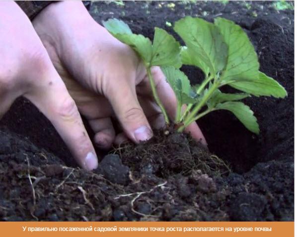 У правильно посаженной садовой земляники точка роста располагается на уровне почвы
