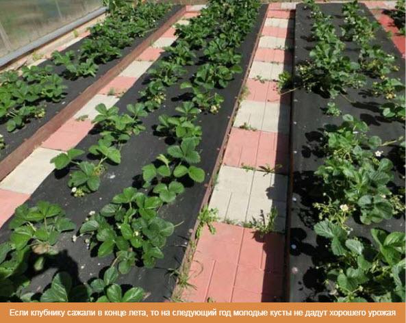 Если клубнику сажали в конце лета, то на следующий год молодые кусты не дадут хорошего урожая